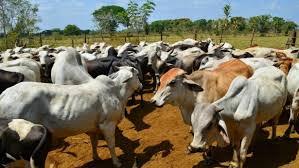 Se hurtan 1.000 cabezas de ganado en San Vicente del Caguán y Talan Arboles